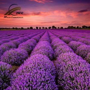 Lavender Export of Herb essential oil - Maleki Commercial Co.