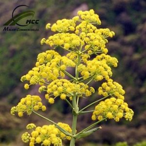 Asafoetida Export of Herb essential oil - Maleki Commercial Co.