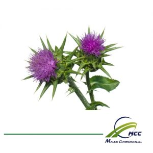 Milk thistle Export of Herb essential oil - Maleki Commercial Co.