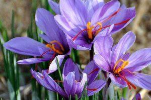 مواد تشکیل دهنده زعفران
