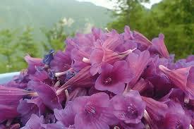 انواع گونه های گل گاو زبان