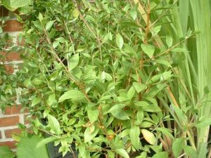 خواص و کاربرد گیاه حنا
