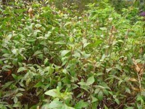 مشخصات گیاه حنا