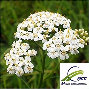 Yarrow plant and Yarrow characteristics and Plant names Scientific name  Export of Herb essential oil - Maleki Commercial Co.